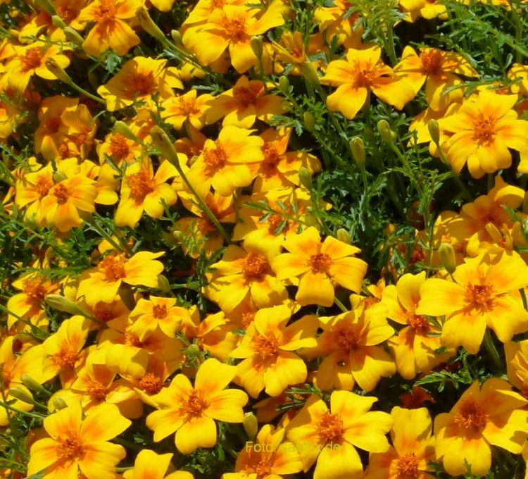 Tagetes tenuifolia Starfire Mischung -- Großpackung 1.000 Korn