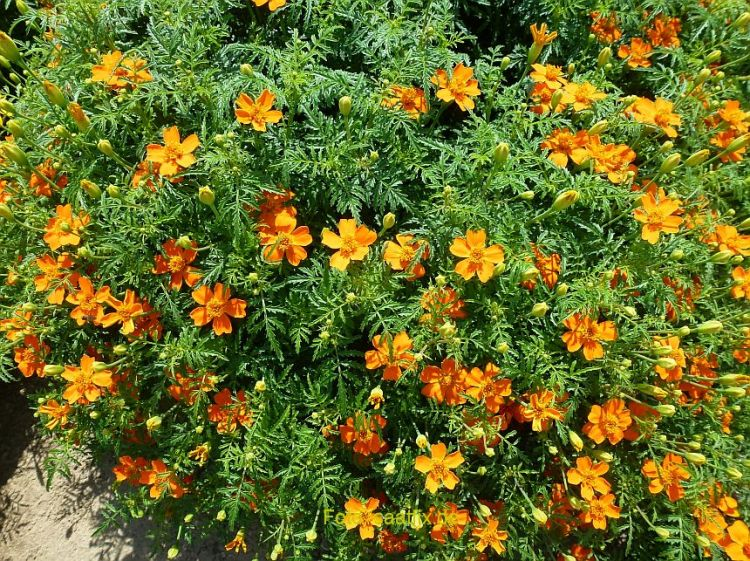 Tagetes tenuif. Starfire Mischung