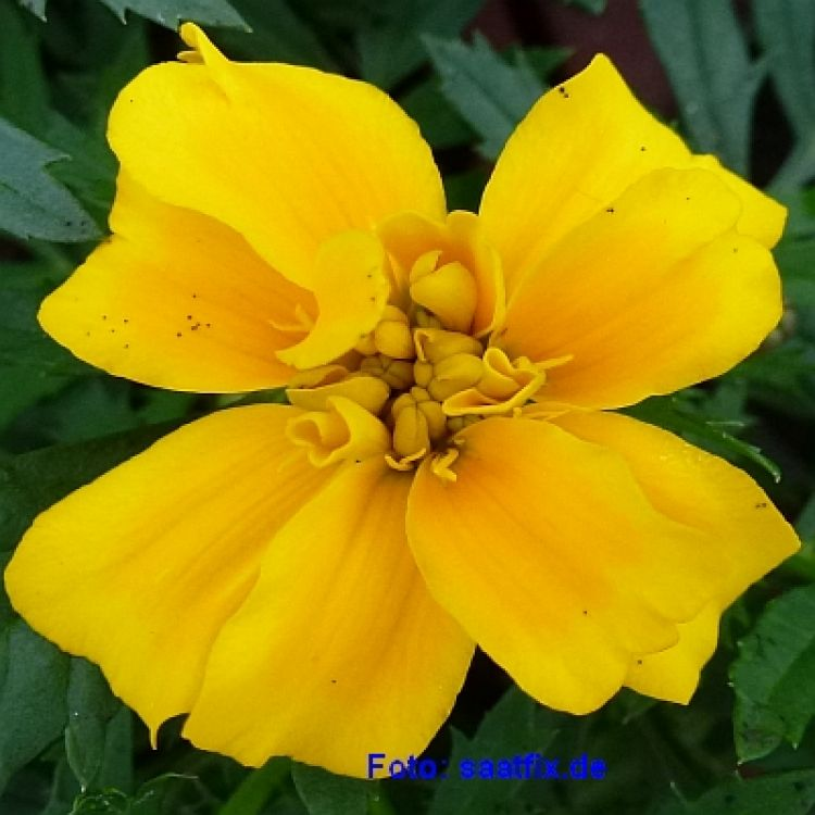 Tagetes Disco Golden Yellow