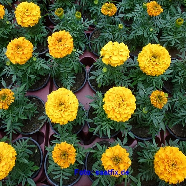 Tagetes Antigua F1  Orange