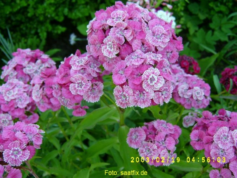 Prachtmischung Dianthus Samen Saatgut Bartnelken einf