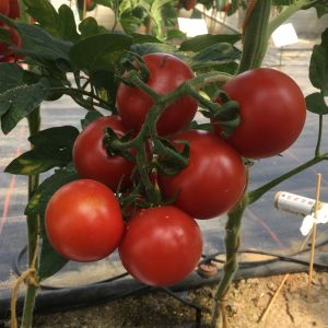 Tomate Pannovy F1